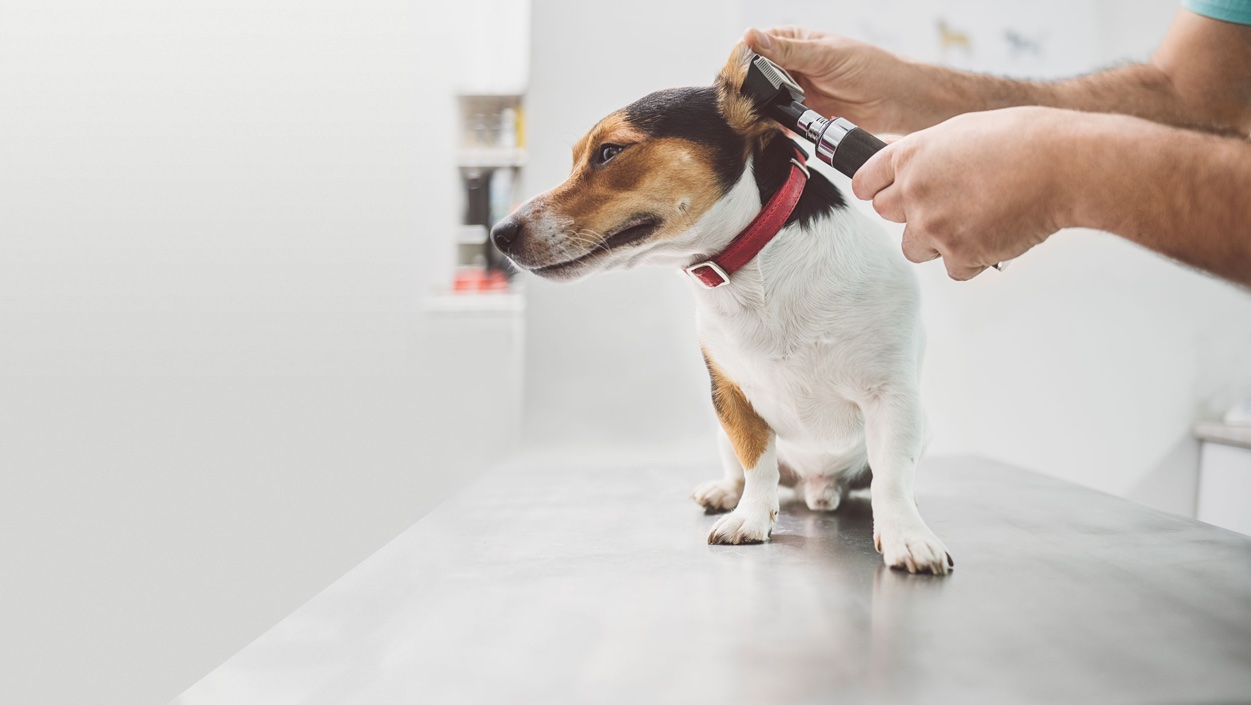 Brown and white dog on an exam table, getting his hears examined