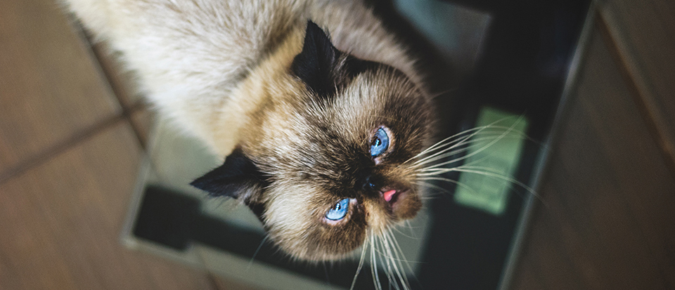 brown cat with blue eyes looking up, with its tongue slightly sticking up