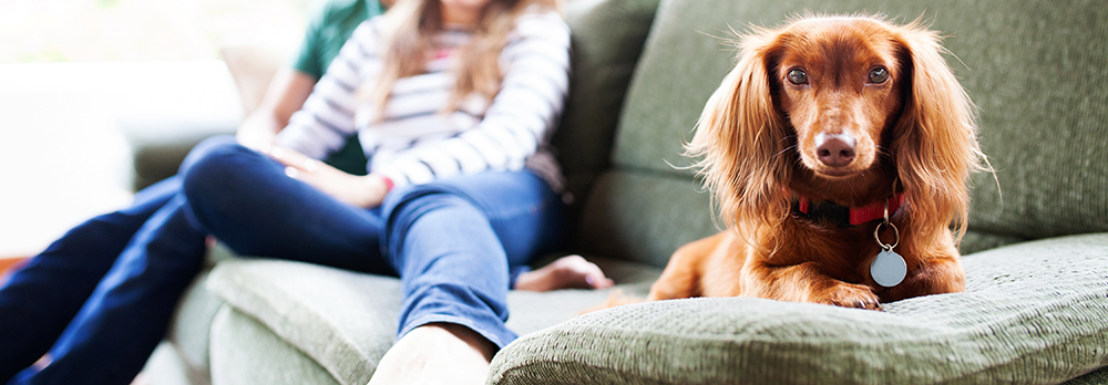 Brown long-haired dachshund lays on a couch, with two people in the background out of focus