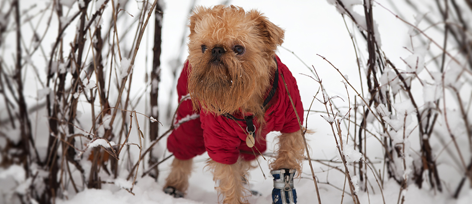 Small bearded dog outside in the snow, wearing a red coat and blue booties
