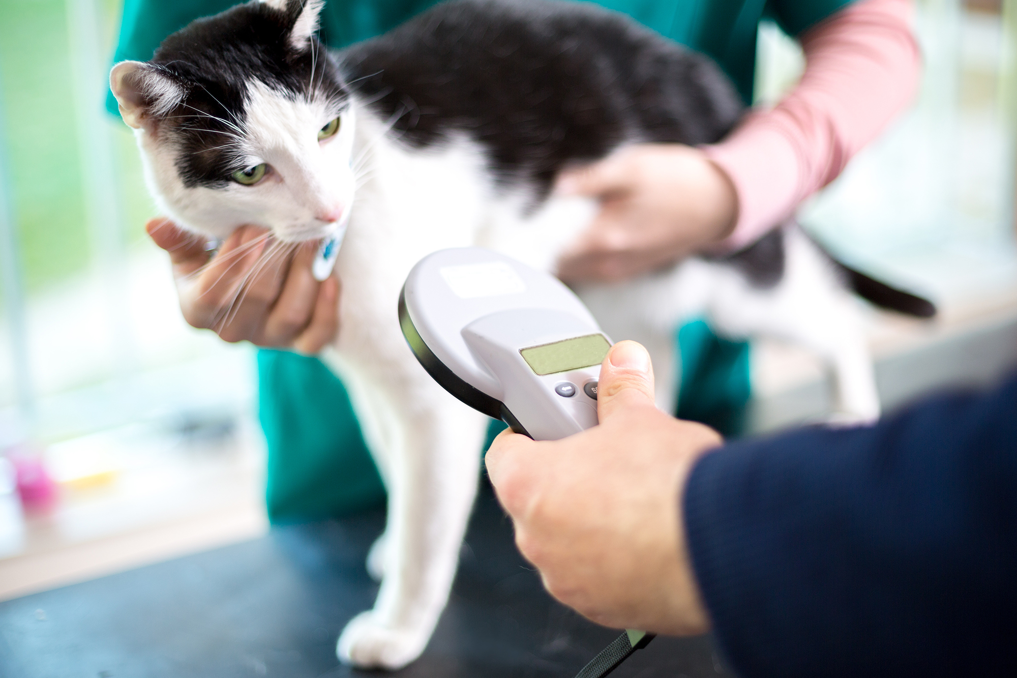 Veterinarian identifies cat ID by scanning microchip implant