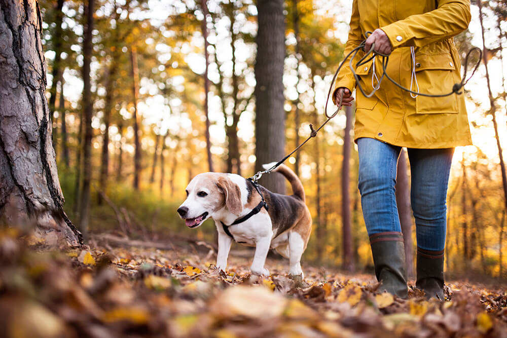 woman walking dog among autumn leaves