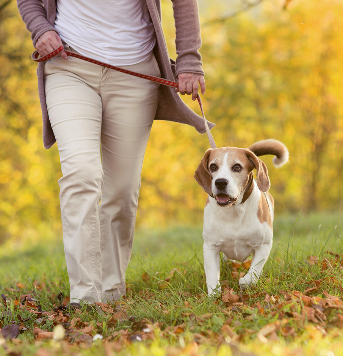 woman walking her beagle dog
