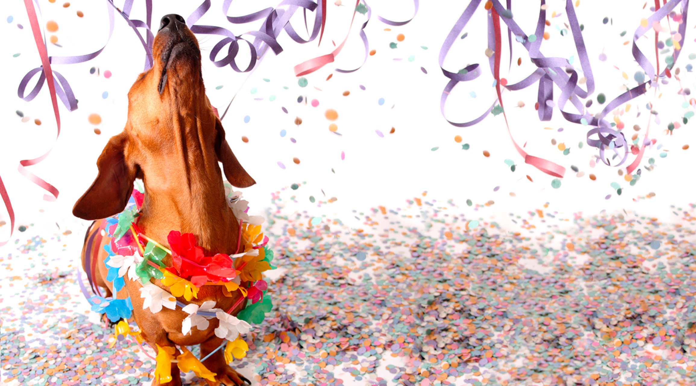 dachsund wearing a colorful paper garland, surrounded by colorful confetti