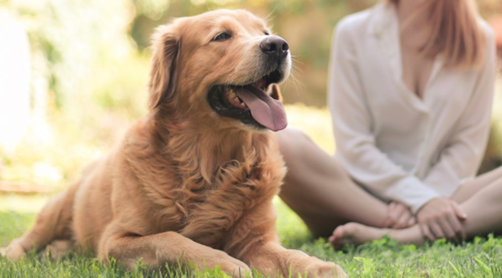 Golden Retriever happily lying on the grass, panting, with woman sitting cross-legged in the background