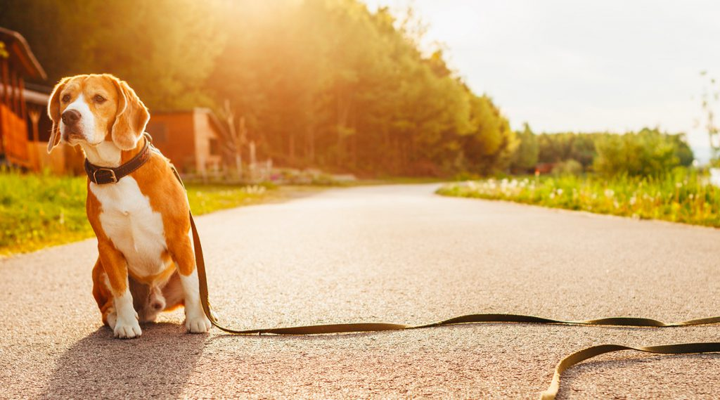 beagle-type dog sitting in the middle of a path, on a leash that no one is holding