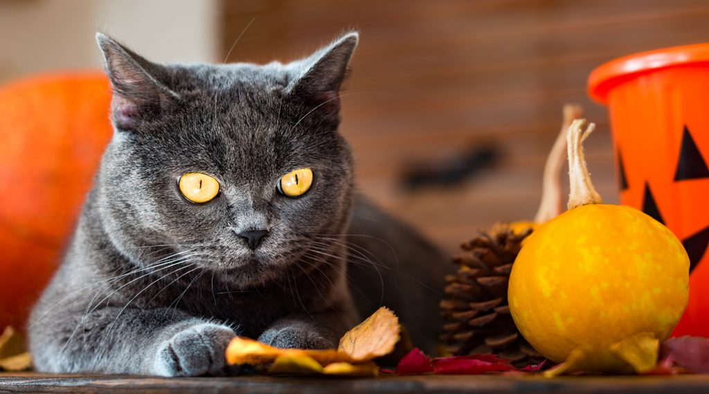 dark gray cat lying down in Halloween or fall scene with gourd, pine cone, and orange trick-or-treat bucket