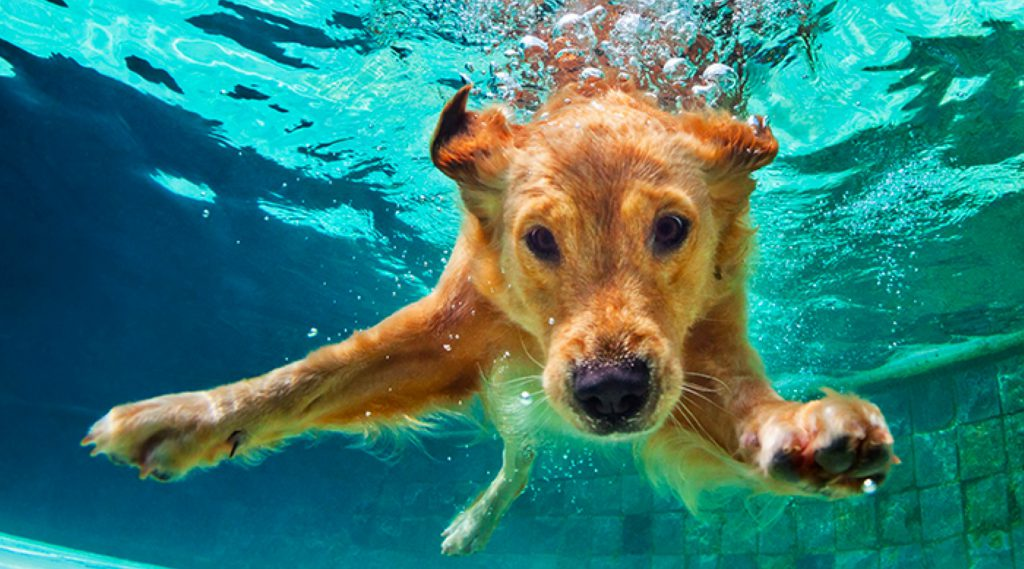 Underwater photo of golden retriever diving under the water and swimming
