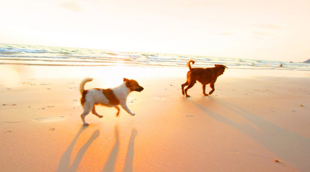 two dogs running on the beach at sunset