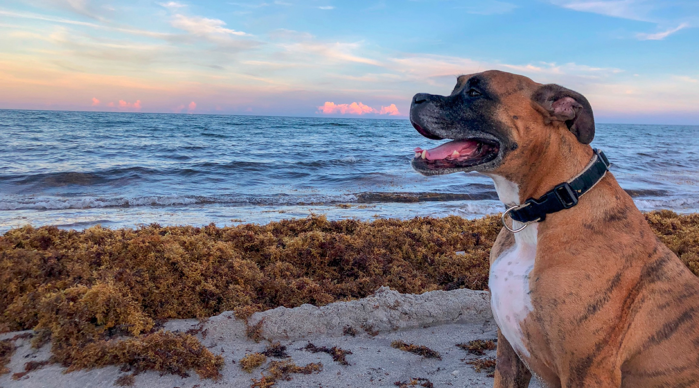 Happy brindle-coat dog sitting on a beach, with the ocean in the background