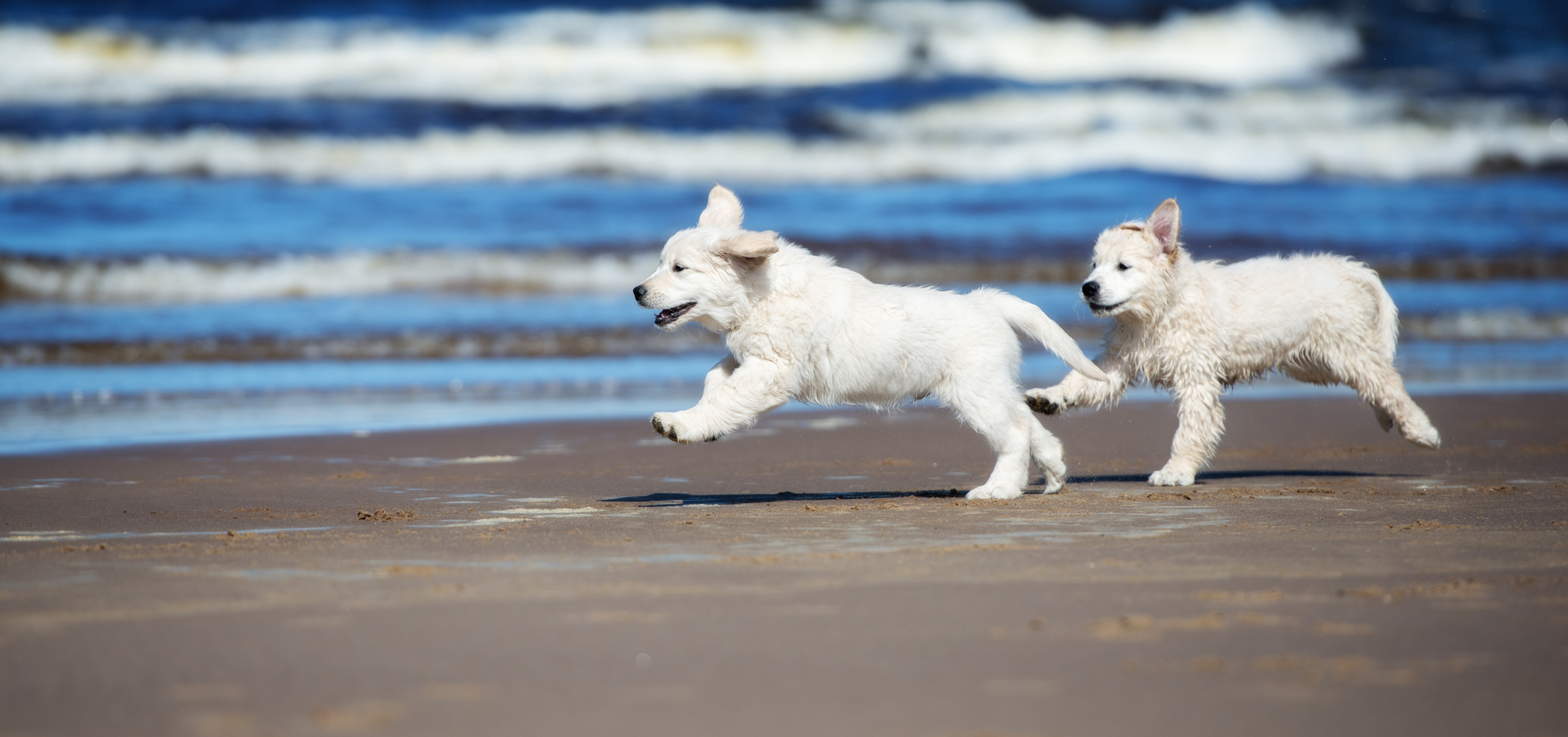 golden retriever pups chasing each other on a beach with the ocean in the background