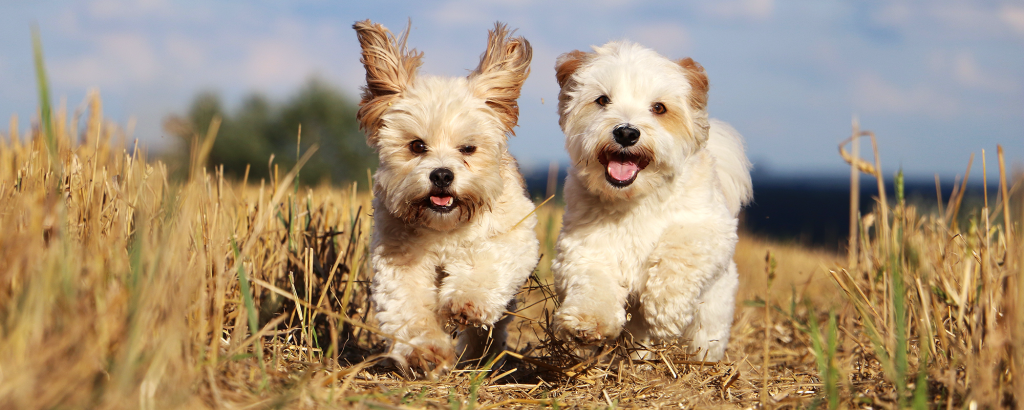small fluffy white dogs running happily through a field