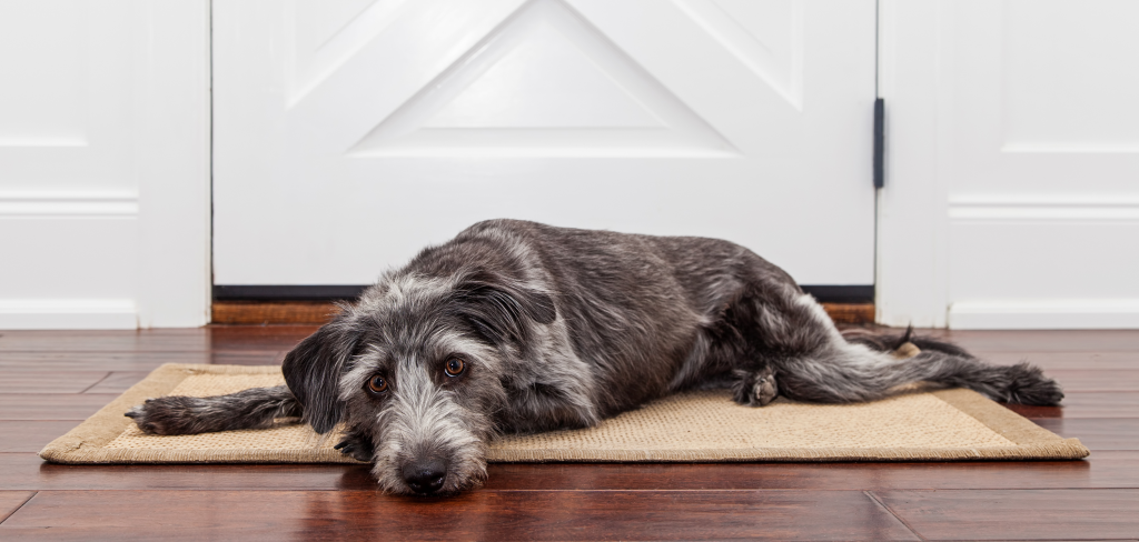 Gray dog lying on a rug in front of a door, looking a little sad