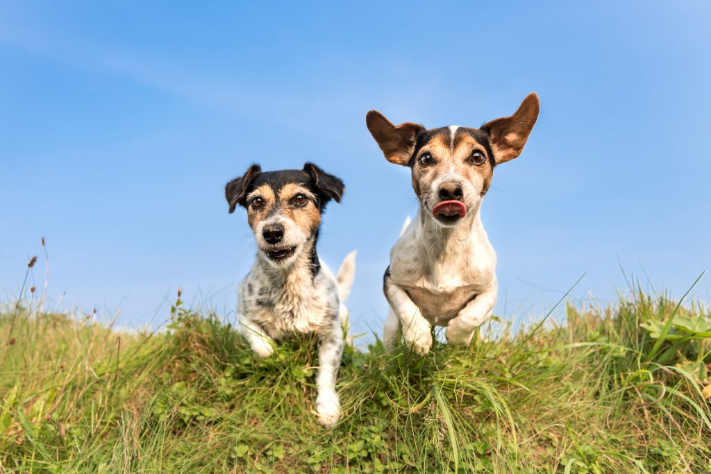 Jack Russells running in the grass