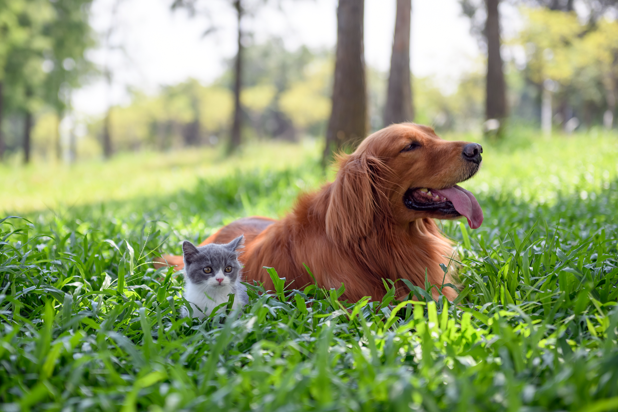 retriever dog and gray and white kitten sitting outside in the grass