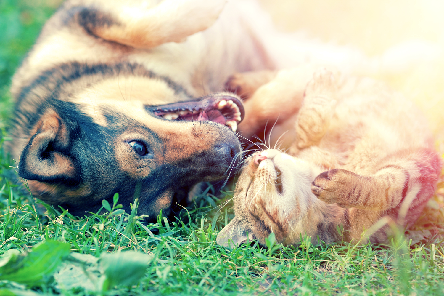dog and cat rolling in the grass