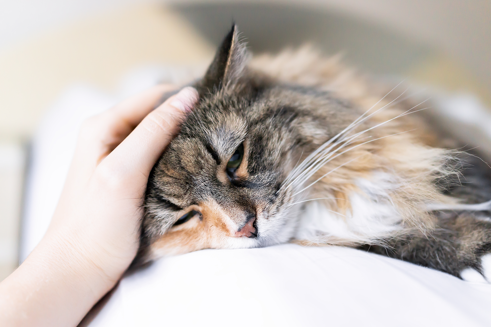 close-up of cat with a person's hand on her head