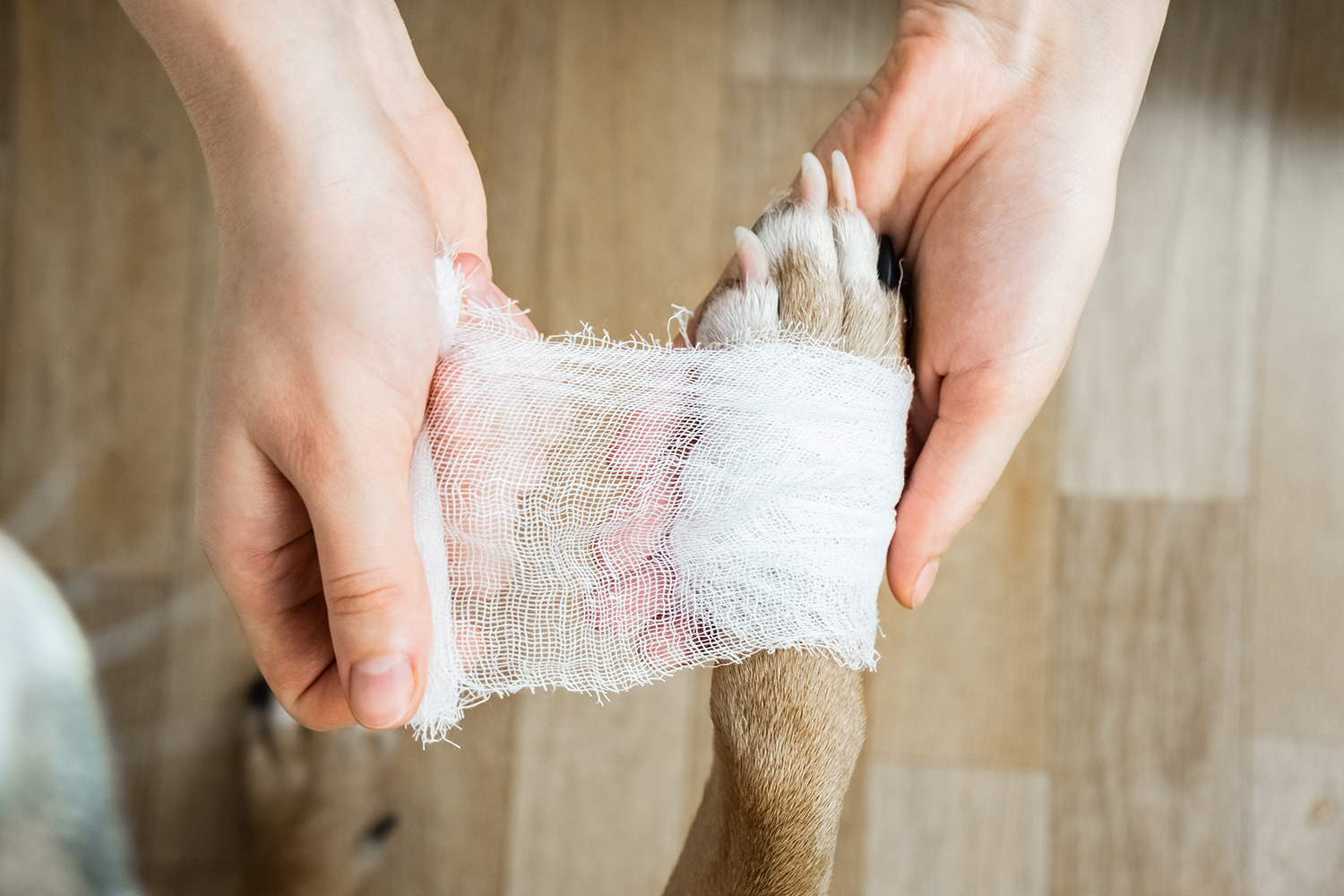 wrapping dog paw with gauze