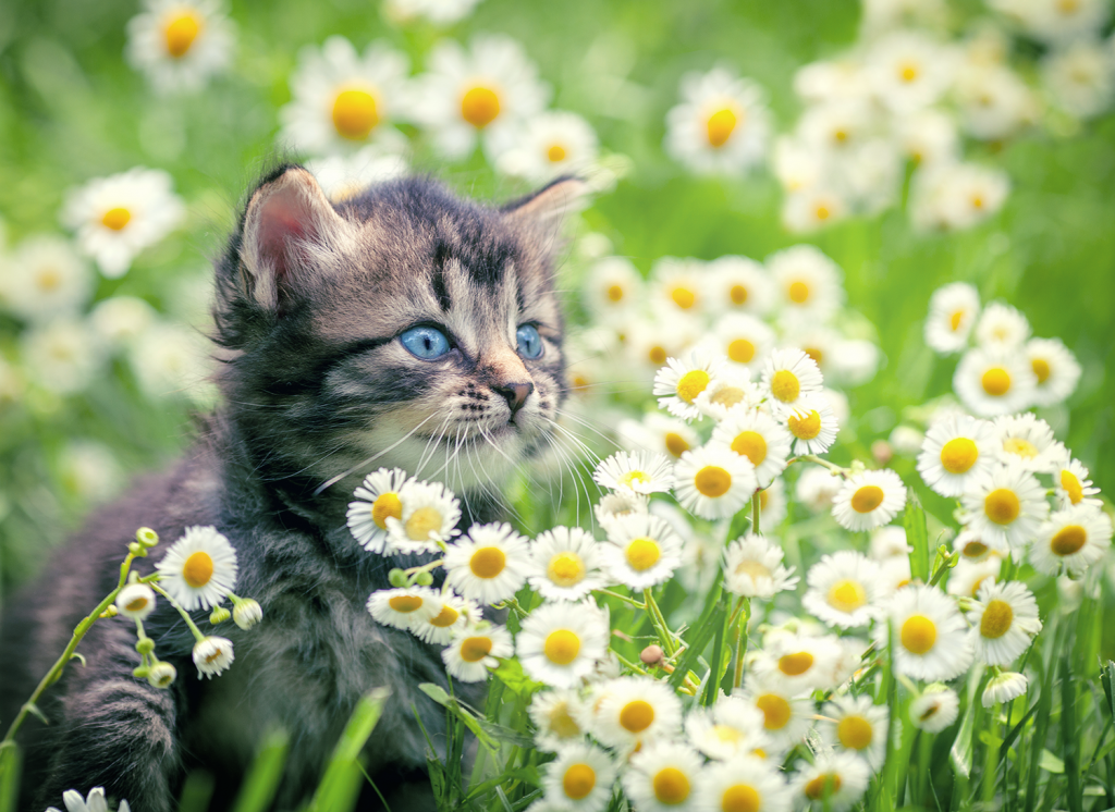 stripey kitten sitting in grass and little white flowers