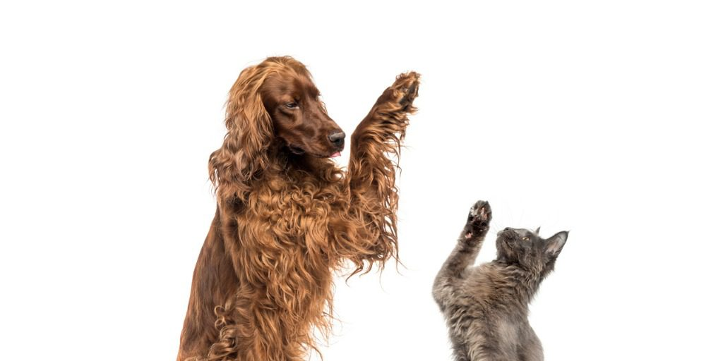 Irish Setter dog and gray cat high-fiving