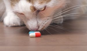 closeup of tabby cat sniffing pills on a table