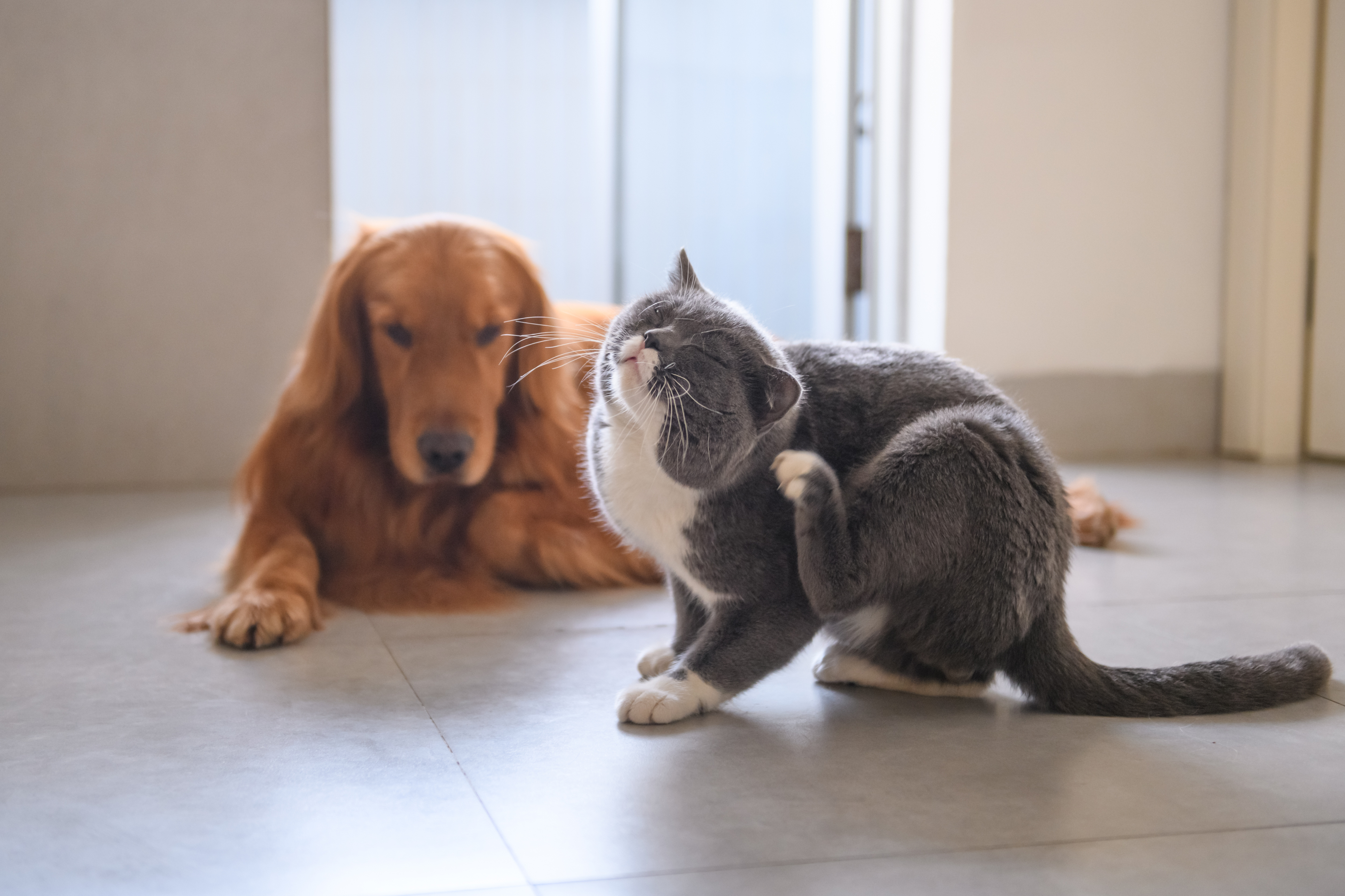 Gray and white cat scratching its ear with a hind leg; golden retriever-type dog in the background; fleas and ticks problem