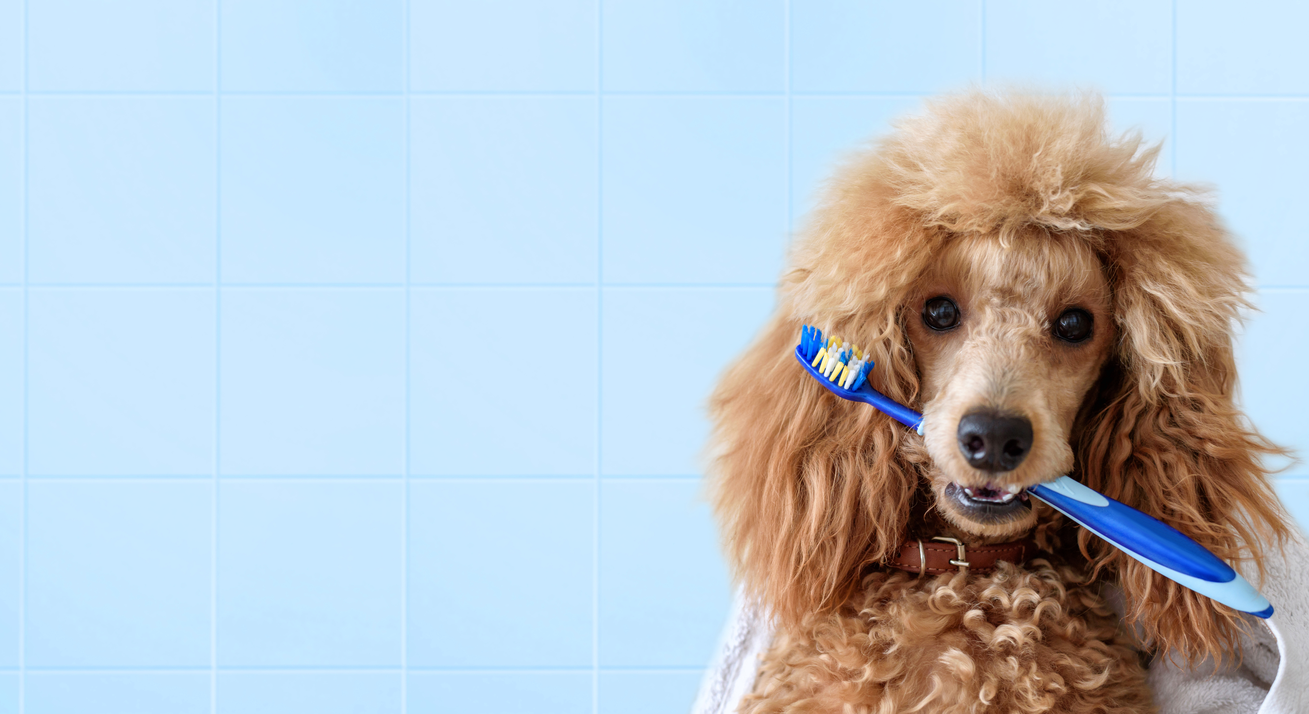 Poodle-type dog holding a toothbrush in its mouth - prevent bad dog breath