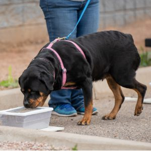 Rottweiler wearing a pink harness and blue leash, sniffing a container outdoors; a person wearing jeans is in the background