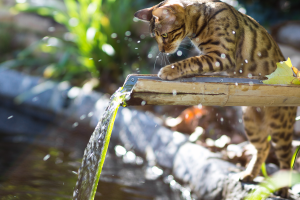 Bengal cat playing with water