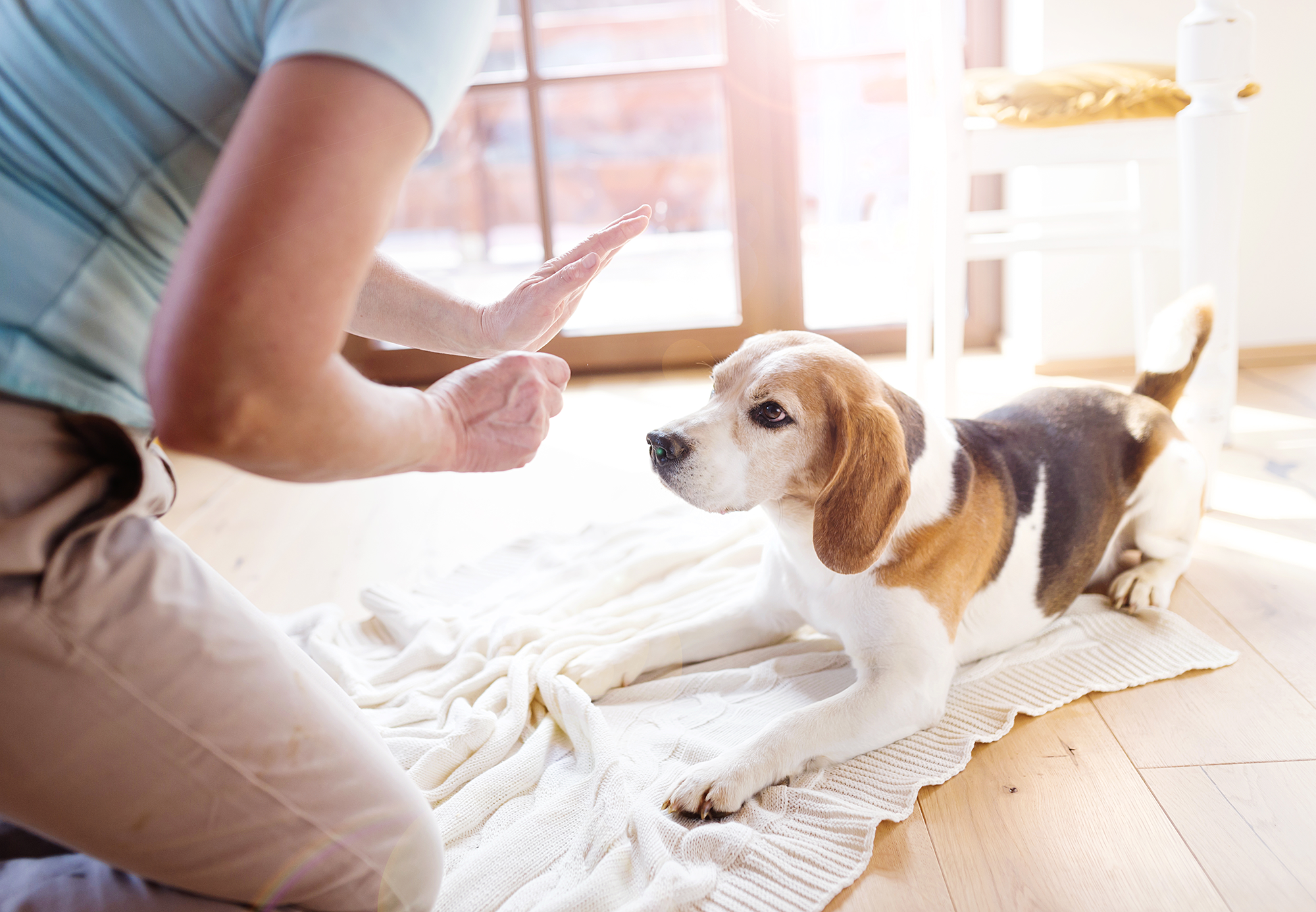 woman training a beagle