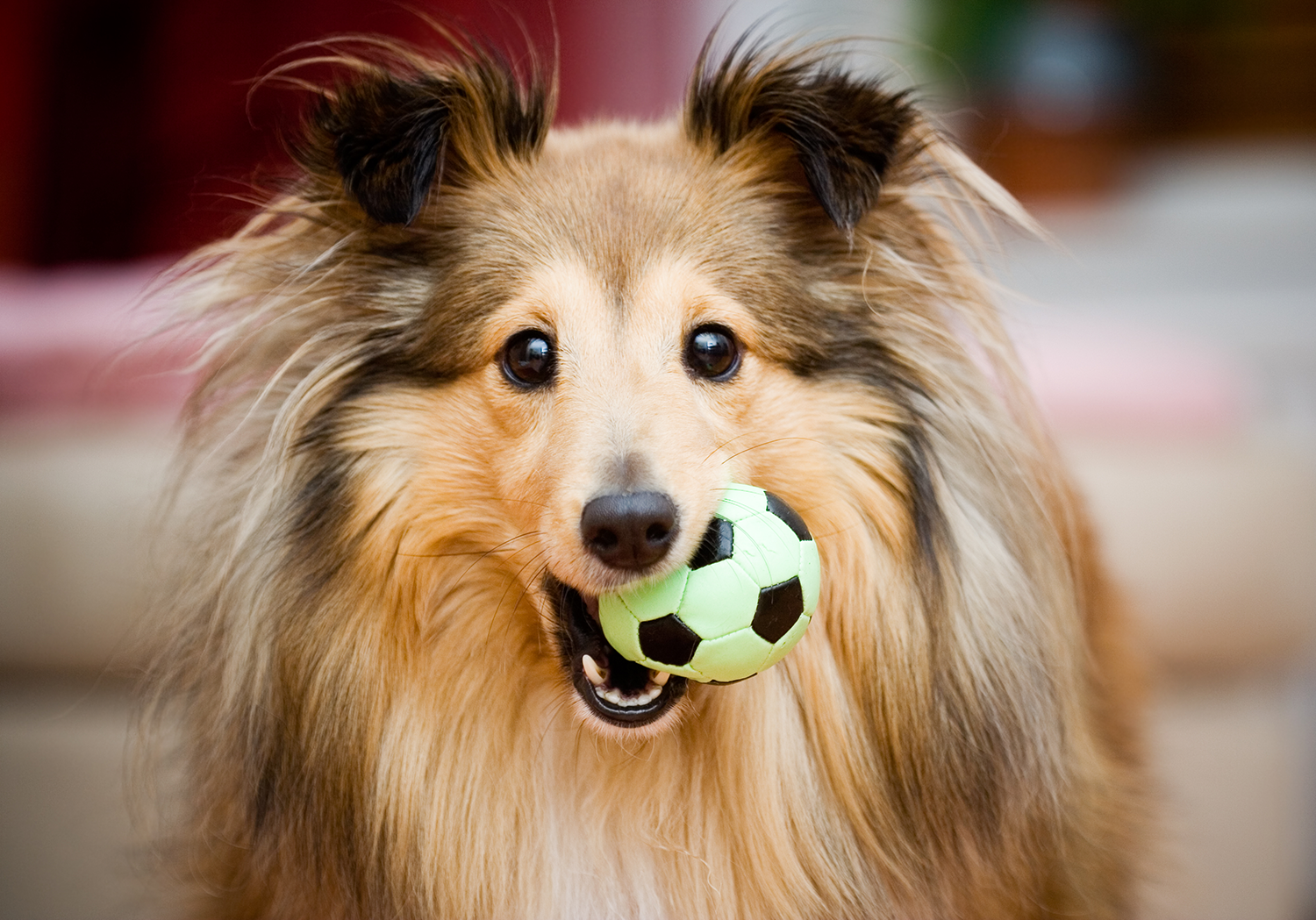 dog with a toy in his mouth