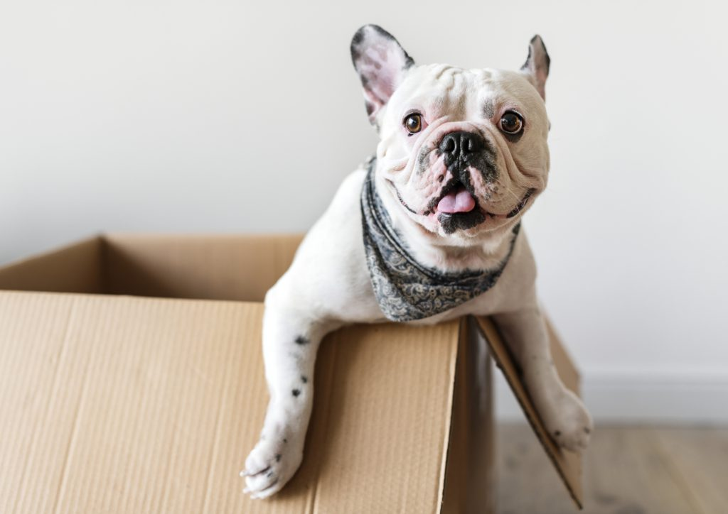 French bulldog wearing a kerchief around its neck, looking happy in an open cardboard box