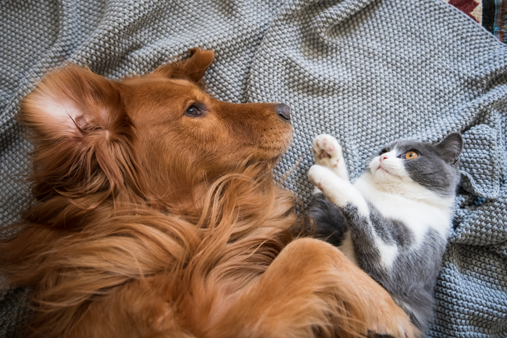 golden retriever and British short hair cat on blanket