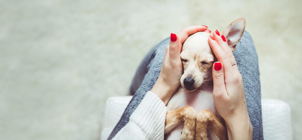 person with bright red nail polish gently holds a chihuahua in her lap, on its back. The dog looks relaxed.