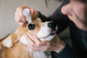 Person holding a corgi's head and administering eye drops