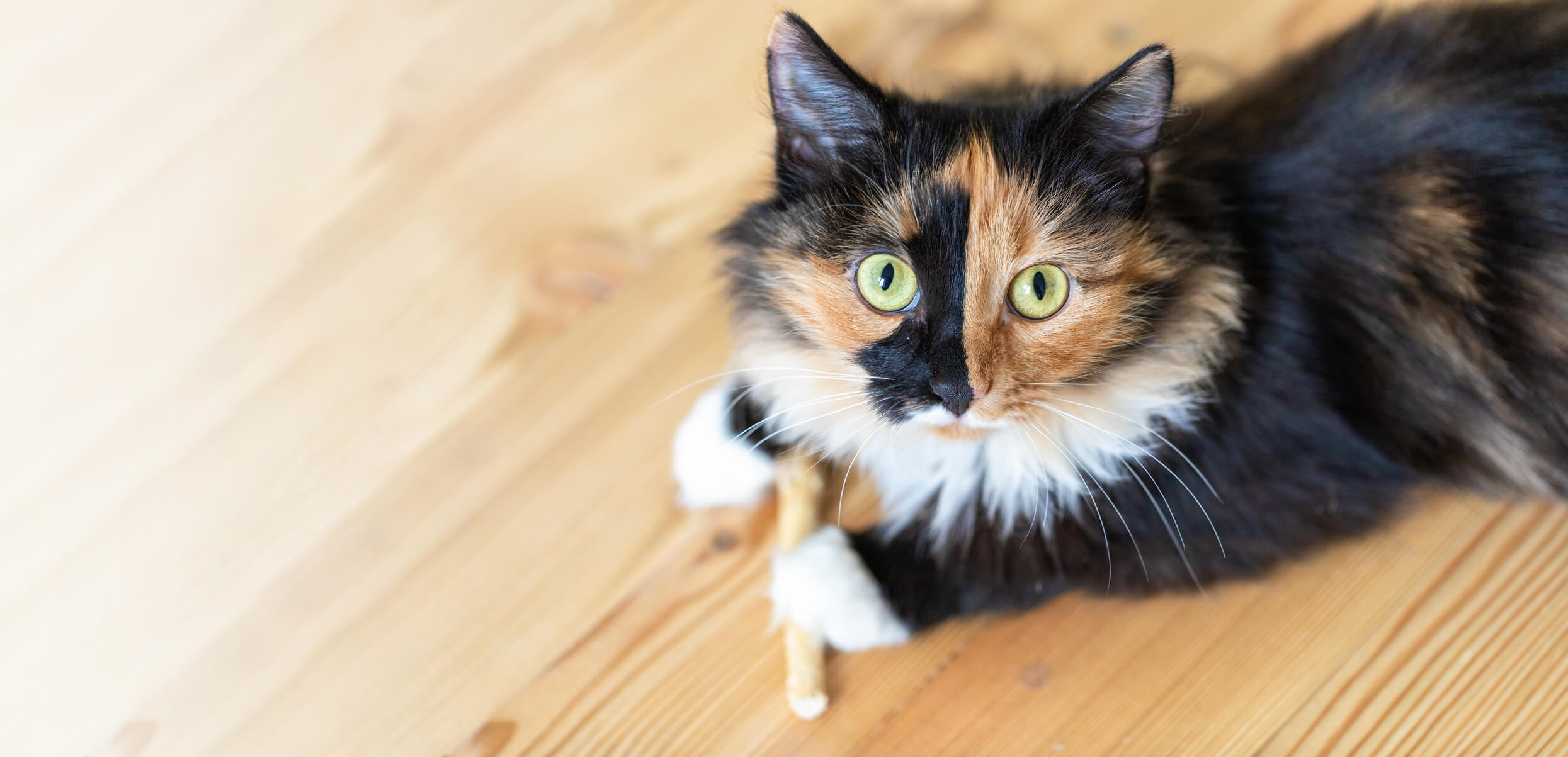 Tri-color chimeric cat on wood floor looking up at camera with big eyes