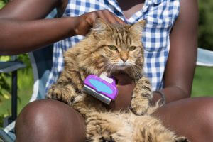 Long-haired cat being groomed outdoors