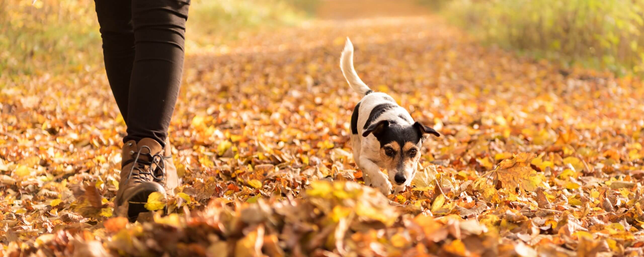 person walking in the fall leaves with a jack russell terrier